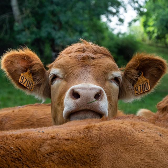 Auvergne cow